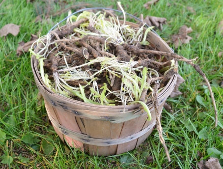 basket-of-roots