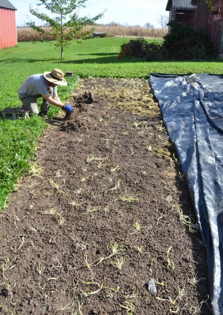 dandelions-in-garlic-bed