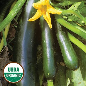 1303-black-beauty-zucchini-squash-organic